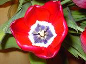 Tulpenbilder