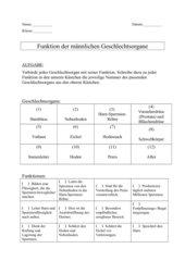 Die männlichen Geschlechtsorgane und deren Funktion (AB oder Folie)