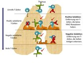 Thymus T-Zell-Selektion