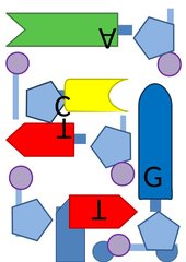 Tafelmodell Replikation/Transkription