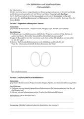 Bau eines Bohnensamens / Stärkenachweis
