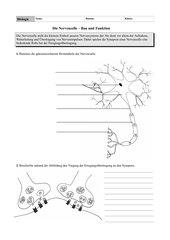 Arbeitsblatt: Die Nervenzelle - Bau und Funktion