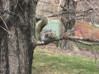 Graues Eichhörnchen - Eichhörnchen, Nagetier, Eichkätzchen, Eichkater, Katteker, Baumbewohner