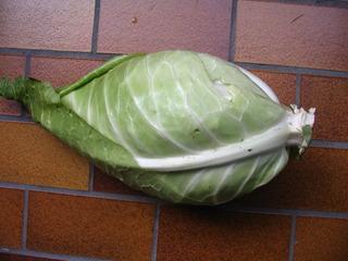 Spitzkohl - Spitzkohl, Spitzkraut, Gemüsekohl, Sommerkohl, Filderkraut, Sauerkrautherstellung