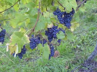 Blaue Weintrauben an den Reben - Herbst, Wein, Farben, blau, grün, gelb, Rebe, Weinrebe, Färbung, Traube, Weintraube, Trauben