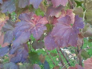 Weinblätter 1 - Wein, Blatt, Herbst, Faszination, Färbung, Weinblatt, Weinlaub, rot