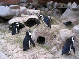 Zwergpinguine - Zwergpinguin, Pinguin, Seevogel, Landwirbeltier, Laufvogel