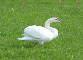 Schwan - Schwan, Wasservogel, Höckerschwan, weiß