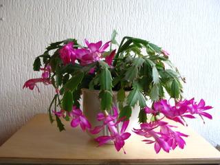 Weihnachtskaktus - Schlumbergera, Zimmerpflanze, Kaktus, Gliederkakteen, zweikeinmlättrig, Blüte, geöffnet, Sprossglieder