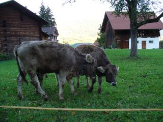 Schweizer Kuh - Flüeli, Schweiz, Alm, junge Kuh, Kuhglocke, Holzhütte, zwei, Weide, Kalb