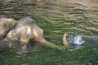 Elefantenbad # 4 - Elefant, Dickhäuter, Säugetier, Rüssel, Pflanzenfresser, grau, baden, Bad, Wasser