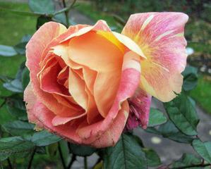 Verblühende Rose - Rose, Blüte, Blume, Herbst, verblüht, Herbst, Vergänglichkeit
