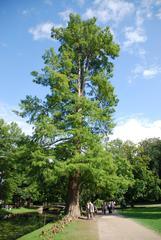 Sumpfzypresse - Zypresse, sommergrün, Baum, Park