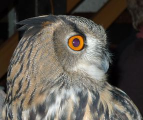 Uhu #2 - Uhu, Eule, Vogel, Wildtiere in Europa, Greifvogel, Raubvogel, nachtaktiv