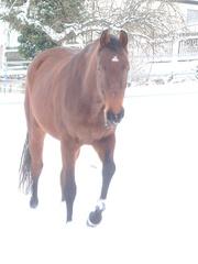 Pferd im Schnee - Pferd, Winter, Koppel