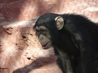 Schimpanse - Schimpanse, Schimpansen, Menschenaffen, Hominidae, Affen, sitzen, klettern, Allesfresser, Wildtier, Afrika, Primat, Jungtier