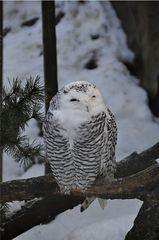 Schneeeule - Eule, Schneeeule, Vogel, Nacht, nachtaktiv, Schnabel, Federn, weiß, Tarnung, getarnt