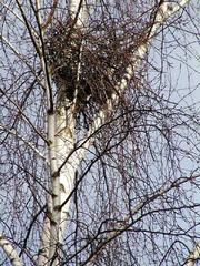 Krähennest  - Krähennest, Krähe, Nest, brüten, Brut, Baum, Birke, Zweige, Vogel
