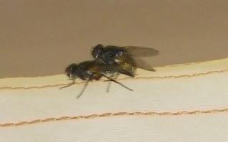 Fliegen - Fliegen, Stubenfliege, Insekt, Fliege