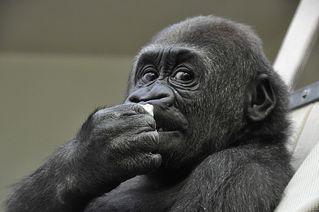Gorilla - Gorilla, Primat, Affe, Menschenaffe, Trockennasenaffe, Pflanzenfresser, Afrika, Knöchelgang, Jungtier, Kind, Säugetier, Auge, Blick, schauen, fressen