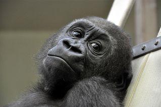 Gorilla-Jungtier - Gorilla, Primat, Affe, Menschenaffe, Trockennasenaffe, Pflanzenfresser, Afrika, Knöchelgang, Jungtier, Kind, Säugetier, Auge, Blick, schauen
