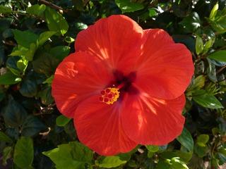 Hibiskusblüte - Blume, Blüte, Hibiskus, Eibisch, Malvengewächs, rot, Hibiskusblüte, Blütenblätter, Staubblätter, Stempel, Hibiscus, Malve