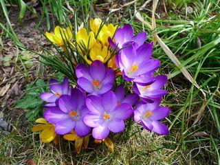 Krokusse - Krokus, Frühblüher, Frühling, Schwertliliengewächs, winterhart