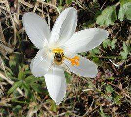 Frühlingsbote: Krokus - Krokus, Frühling, Frühlingsblüher, weiß, Biene, Nahrungssuche