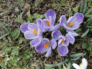 Frühlingsboten: Krokusse - Krokusse, Frühlingsboten, Frühlingsblumen, Frühling, gestreift, Garten