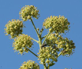 Efeublüten - Efeu, Hedera helix, Kletterpflanze, Blüte