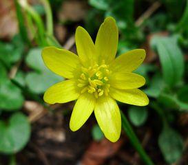 Scharbockskraut - Scharbockskraut, Hahnenfußgewächs, Frühblüher, gelb, Ranunculus ficaria, Giftpflanze, giftig