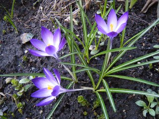 Krokus - Krokus, Frühblüher, Frühling, Schwertliliengewächs, winterhart