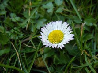 Gänseblümchen - Korbblütler, Wiesenblume, Bellis perennis, Rasen, Wiese, weiß, gelb, Heilpflanze, Blüte, Pollen, Gänseblümchen