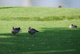 Wildgänse - Vögel, Wildgänse, Gans, grau, Gänse, wild, Vogel, Schwimmvogel, schwimmen, Wasser, Schnabel, Gefieder, Feder, grasen