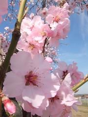 Mandelblüte #1 - Blüte, Mandelblüte, Pflanze, Frühling, Mandel, Baum, Blüten, Mandel, Mandelbaum, rosa