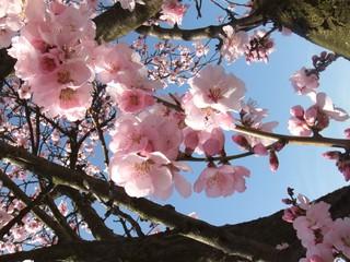 Mandelblüte #2 - Blüte, Mandelblüte, Pflanze, Frühling, Mandel, Baum, Blüten, Mandel, Mandelbaum, rosa