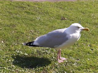 Möwe - Möwe, Vogel, Wasservogel