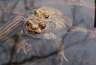 Erdkrötenpaar 02 - Kröte, Erdkröte, nachtaktiv, Amphibie, Froschlurch, Feldkröte, braun, wechselwarm, glitschig, erdfarben, Feuchtraumgebiet, Märchen, Teich, Umweltschutz, Tarnung, Blick