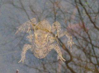 Erdkrötenpaar 04 - Kröte, Erdkröte, nachtaktiv, Amphibie, Froschlurch, Feldkröte, braun, wechselwarm, glitschig, erdfarben, Feuchtraumgebiet, Märchen, Teich, Umweltschutz, Tarnung, Blick