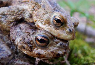 Erdkrötenpaar 05 - Kröte, Erdkröte, nachtaktiv, Amphibie, Froschlurch, Feldkröte, braun, wechselwarm, glitschig, erdfarben, Feuchtraumgebiet, Märchen, Teich, Umweltschutz, Tarnung, Blick