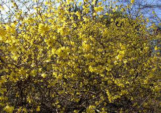 Forsythie 1 - Forsythie, Forsythien, Strauch, Zierstrauch, Busch, Frühling, Frühjahr, Blüte, Blüten, gelb
