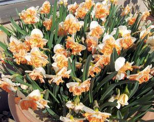 Narzisse 1 - Narzisse, Narzissen, Osterglocken, Blüte, Blüten, Blume, Ostern, Frühjahr, Frühling, gelb, orange