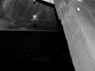 Kreuzspinne im Netz - Spinnentiere, Spinnen, Radnetzspinnen, Kreuzspinne, Gartenkreuzspinne, Beutefang mit Netz, Spinnennetz