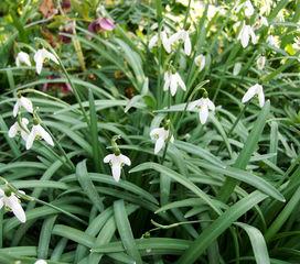 Schneeglöckchen - Schneeglöckchen, Winter, Blume, Blüte, Pflanze, Frühjahr, weiß