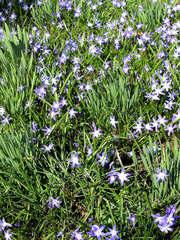 Blaustern #2 - Scilla, Szilla, blau, Blüten, Blume, Park, Frühling, Frühjahr