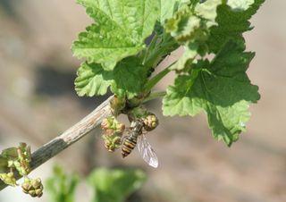 Schwebfliege #1 - Schwebfliege, Johannisbeere, Insekten, Fliege, wespenartig, Syrphidae, Schwebfliege, Zweiflügler, Deckelschlüpfer, Fluginsekt, Mimikry, Insekt, Bestäuber