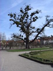 Baum mit Misteln #1 - Mistel, Sandelholzgewächs, Halbschmarotzer