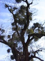 Baum mit Misteln #2 - Mistel, Sandelholzgewächs, Halbschmarotzer