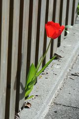 Tulpe'1 - Tulpe, Blüte, Gartenblume, Frühblüher, rot