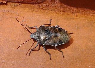 Wanze - Wanze, Blattwanze, Baumwanze, Schnabelkerfe, schildförmig, Heteroptera, Rhaphigaster nebulosa, Pentatomidae